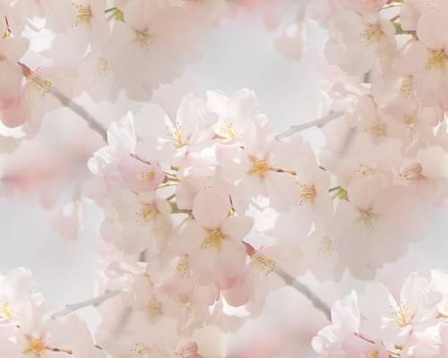 Цветущие деревья яблоня в цвету фоны